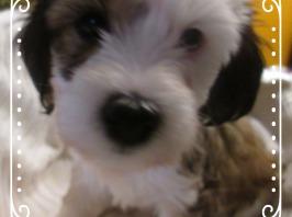 Tibet Terrier Welpe Mädchen ABHA House of Lucky Charms