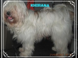Tibet Terrier Hündin KHIRANA im House of Lucky Charms