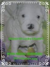 Khirana Tibet Terrier im House of Lucky Charms.de