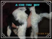 FREI, 8 Wochen Tibi Welpe, HoLC, Brachttal