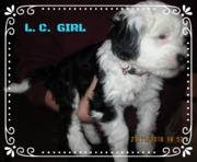 FREI, Tibet Terrier Mädchen, Lucky Charm, 8 Wochen Welpe, Brachttal, Hessen,