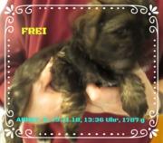 HoLC, Brachttal Hessen, Tibet Terrier, Welpen,
