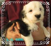 Welpen 7 Wochen, Tibet Terrier HoLC, Brachttal, Hessen,