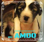 Welpen Rüde AMDO, Tibet Terrier 4 Wochen House of Lucky Charms, 30.10.18, 15:31 Uhr