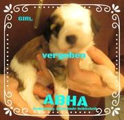 Welpen Mädchen ABHA 4 Wochen Tibet Terrier, House of Lucky Charms, 30.10.18, 15:34 Uhr
