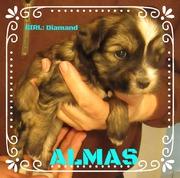Niedliches Tibet Terrier Welpen Mädchen ALMAS, 4 Wochen House of Lucky Charms, 30.10.18, 15:37 Uhr