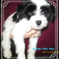 Welpe Tibet Terrier Rüde A-CHI-THU House of Lucky Charms