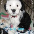 Tibet Terrier Welpen Mädchen L. C. House of Lucky Charms