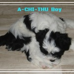 House of Lucky Charms, Tibet Terrier,Welpe,Frei, Rüde,A-CHI-THU