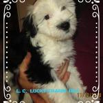 Frei,Mädchen Welpe, Tibet Terrier, House of Lucky Charms, 10 Wochen jung