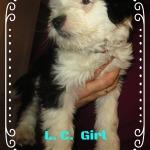 Süsses Mädchen,10 Wochen jung, Tibet Terrier, House of Lucky Charms