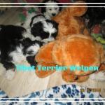 Frei Welpen Tibet Terrier House of Lucky Charms 10 Wochen jung