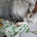 Tibet Terrier House of Lucky Charms, Brachttal