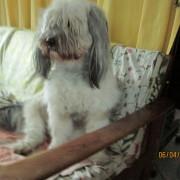 Tibet Terrier Samin House of Lucky Charms