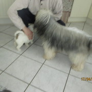 Tibet Terrier Samin House of Lucky Charms