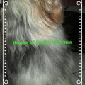 Tibet Terrier Samin Vajrapani ist ein ganz lieber Hund, House of Lucky Charms
