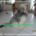 Tibet Terrier Samin Vajrapani im House of Lucky Charms